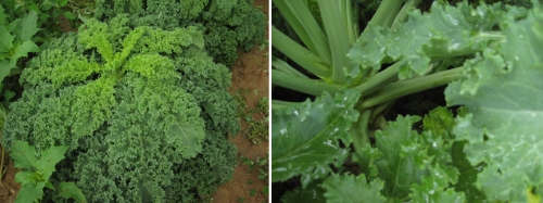 The kale plant (left); the lower stalks are picked while the upper stalks continue to grow