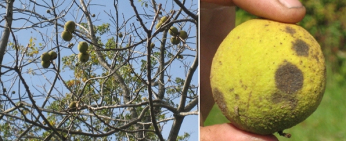 A black walnut tree, the walnut shell is surrounded by an outer husk