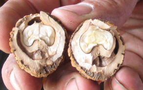 The walnut pieces are the heart-shaped contents inside of this broken shell.
