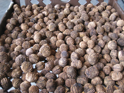 Once the walnuts are cleaned, they should be laid out to dry for several weeks.