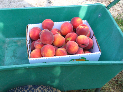 Fresh picked peaches from Bennett Orchards