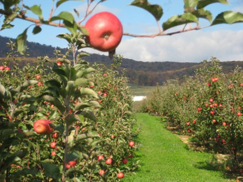 Apples in Catoctin Mountain Orchard