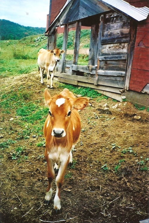 Cow, Rent Mother Nature