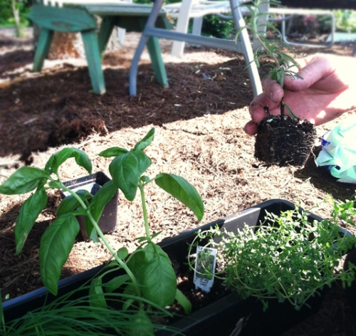 Planting herbs in a planter box